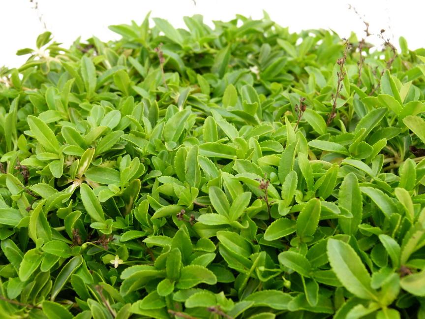 Parahebe kenty pink parahebe kenty pink v ronique for Commande de plantes en ligne