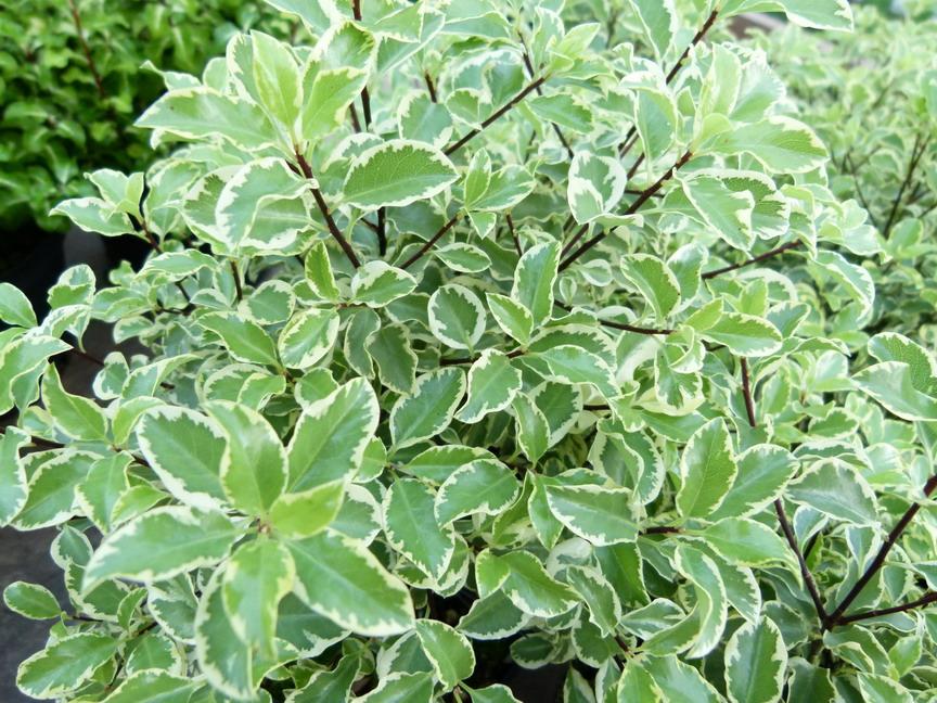 Pittosporum tenuifolium argyrophyllum pittosporum - Arbres d ornement a feuillage persistant ...