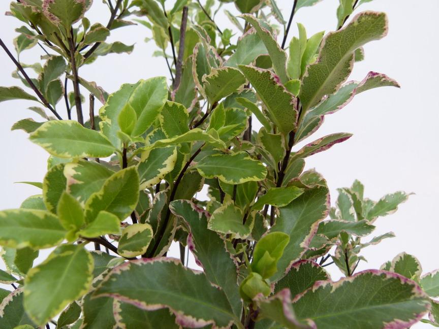 pittosporum tenuifolium elisabeth pittosporum petites feuilles elisabeth pittospore. Black Bedroom Furniture Sets. Home Design Ideas