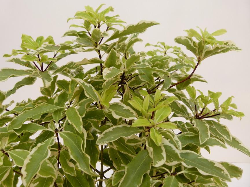 pittosporum eugenioides variegatum pittosporum eugenioides variegatum pittospore p pini re. Black Bedroom Furniture Sets. Home Design Ideas
