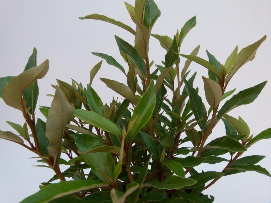 Olearia rani ol aria rani p pini re en ligne de kerzarc 39 h for Site de vente de plantes en ligne