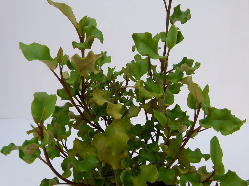 Olearia paniculata ol aria paniculata p pini re en for Commande plante en ligne