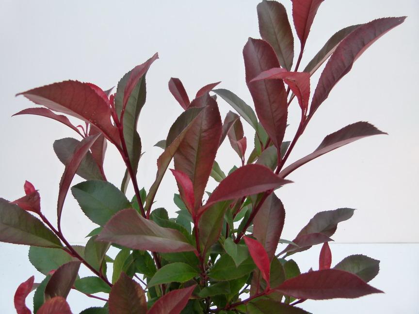 Arbustes d 39 ornement p pini re en ligne de kerzarc 39 h page 35 - Photinia fraseri carre rouge ...