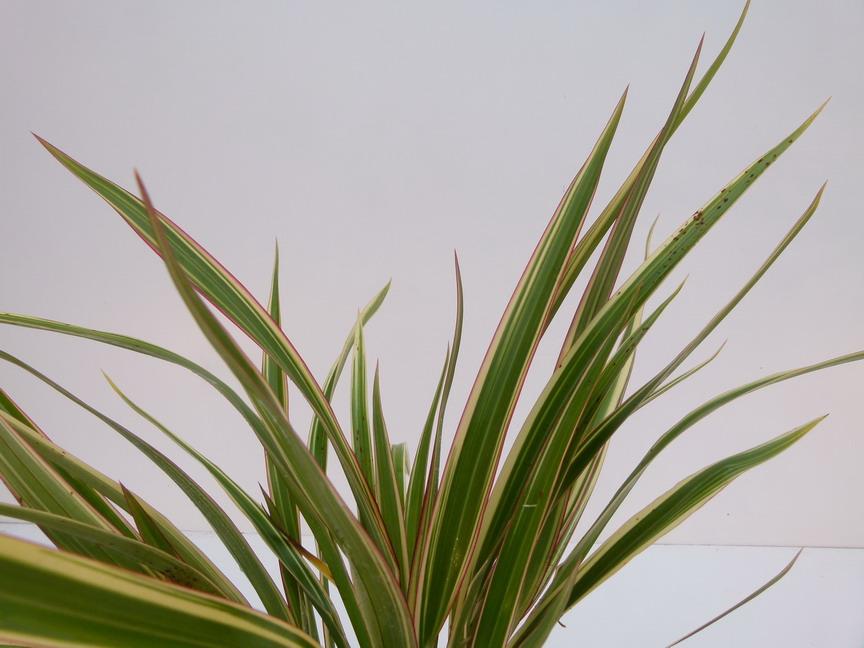Phormium cookianum tricolor lin de nouvelle z lande for Commande de plantes en ligne
