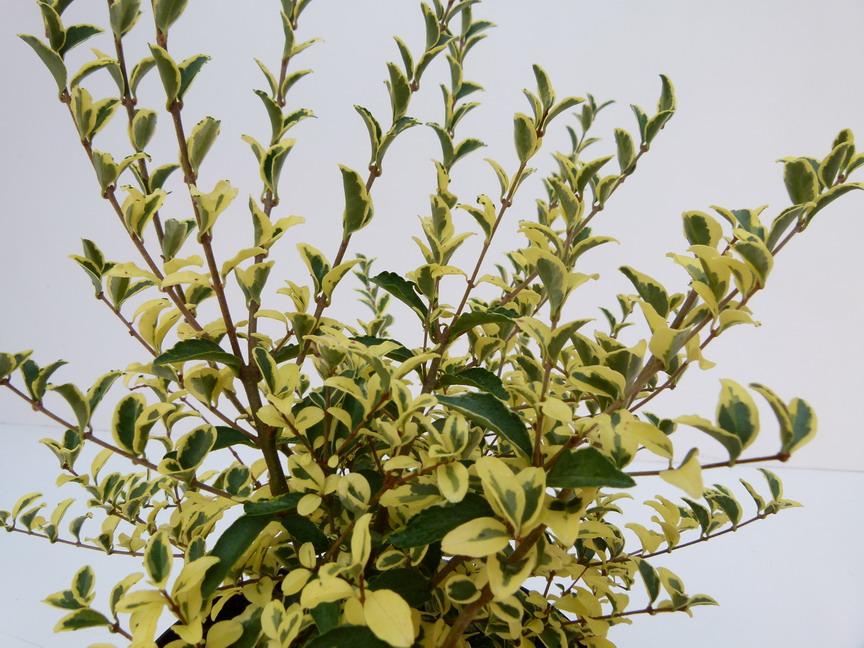 Ligustrum ibota musli tro ne ibota musli p pini re for Site de plante en ligne