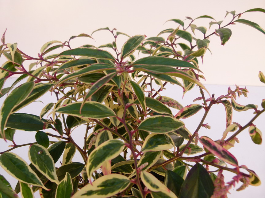 LEUCOTHOE fontanesiana White Water ® : feuillage d'automne.