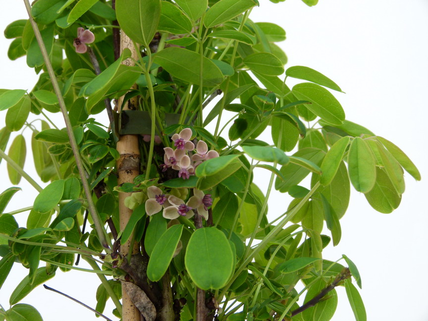 Akebia quinata cream form ak bia cream form ak bie for Site de plante en ligne