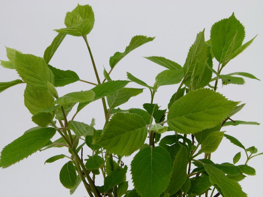 Hydrangea arborescens invincibelle hydrangea arbustif for Commande plante en ligne
