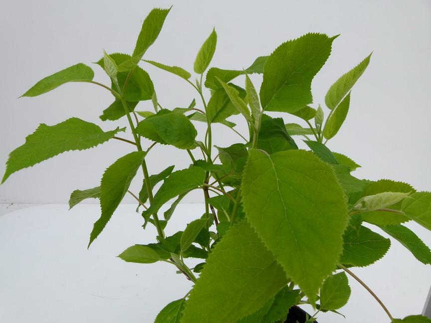 Hydrangea arborescens annabel hortensia arbustif annabel for Commande de plantes en ligne