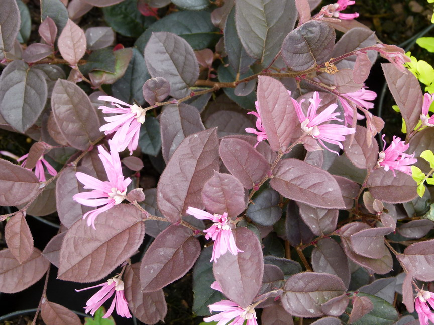 LOROPETALUM chinense Pipa's Red