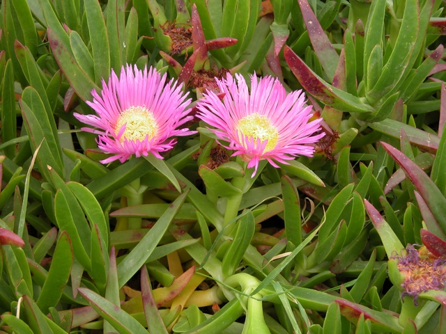 Carpobrotus acinaciformis griffe ou doigt de sorci re for Commande de plantes