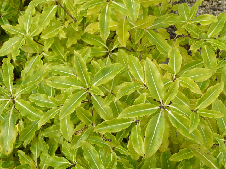 PITTOSPORUM tenuifolium Golden King