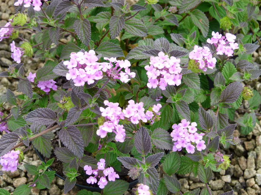 LANTANA sellowiana Violet