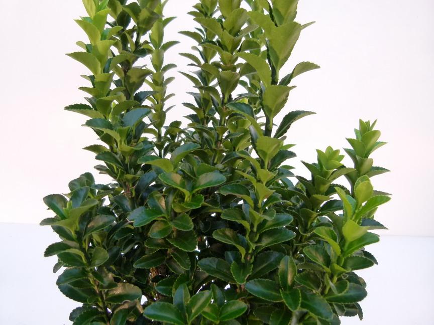 Euonymus japonicus benkomasaki fusain du japon for Commande plante en ligne