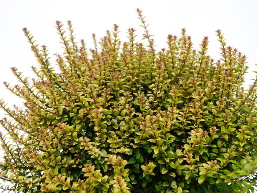 LONICERA nitida Twiggy | Chèvrefeuille arbustif Twiggy ...