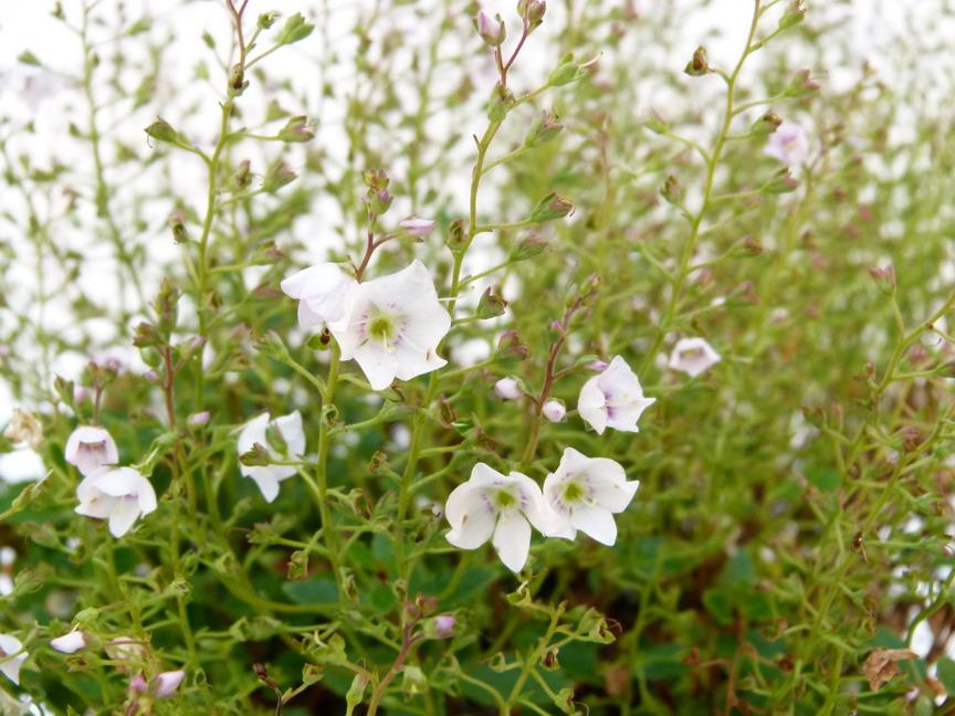 Parahebe lyallii parahebe lyallii p pini re en ligne for Commande plante en ligne