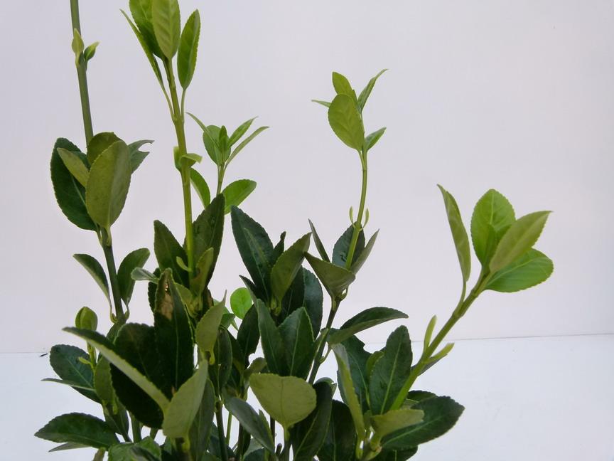 Euonymus japonicus green millenium fusain du japon for Plante 21 en ligne