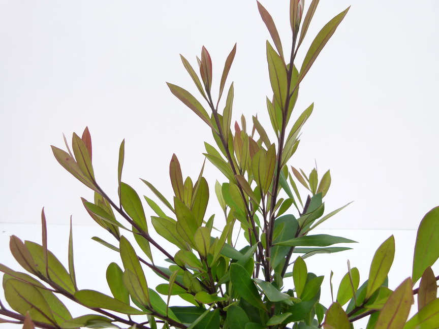 Tristaniopsis laurina tristaniopsis laurina p pini re for Commande plante en ligne