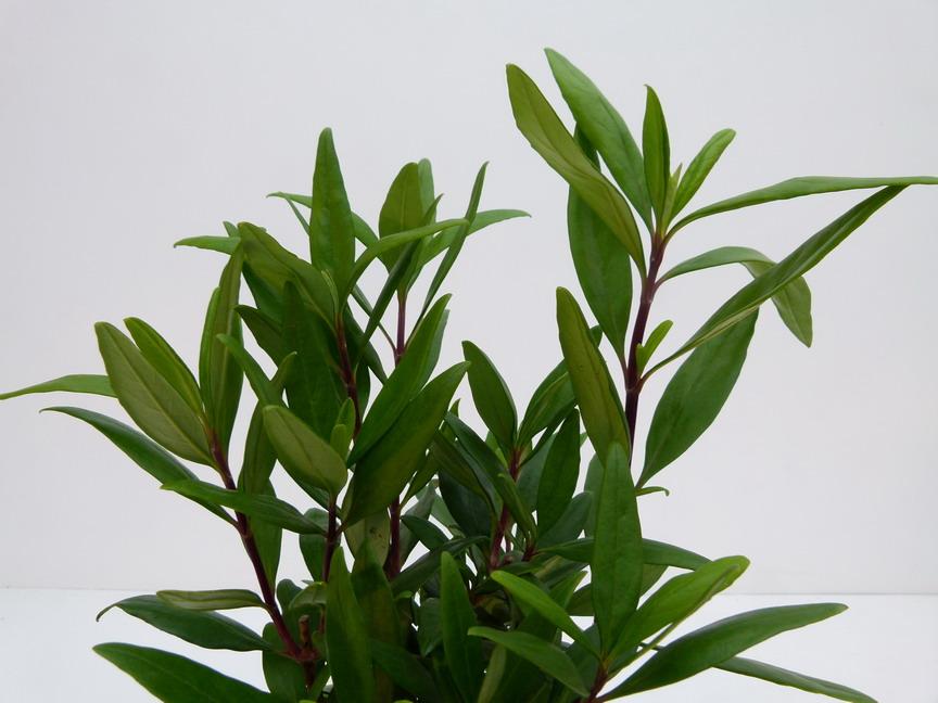 Carpenteria californica bodnant carpenti re de for Commande plante en ligne
