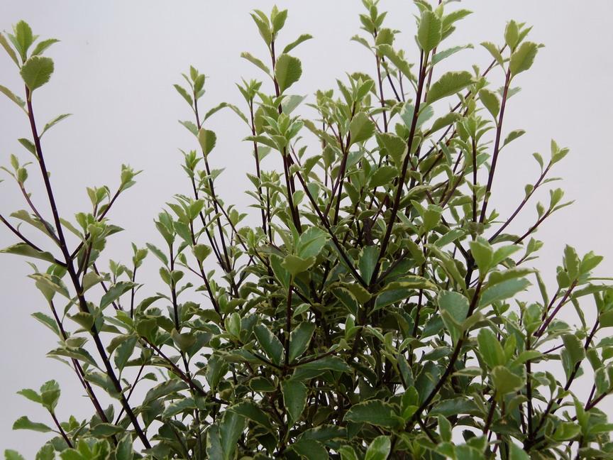 pittosporum tenuifolium silver magic pittosporum petites feuilles silver magic pittospore. Black Bedroom Furniture Sets. Home Design Ideas