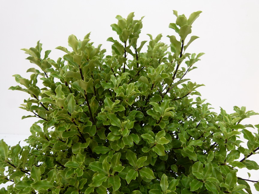 PITTOSPORUM tenuifolium Emerald Dome ®