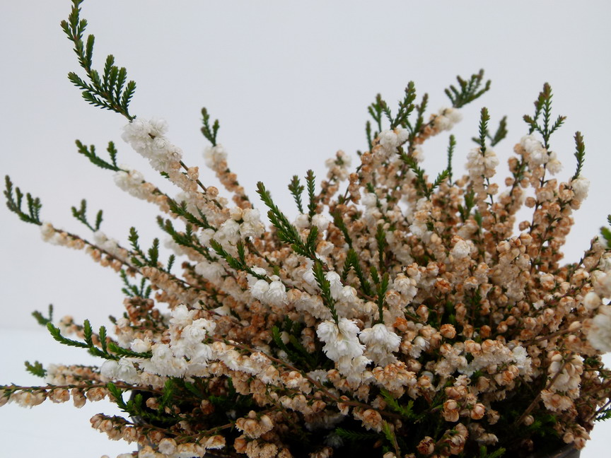 Calluna vulgaris kinlochruel bruy re naine p pini re for Commande de plantes en ligne