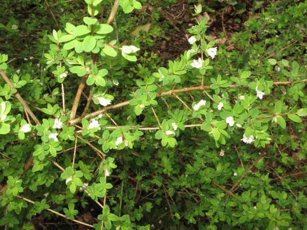 Lonicera myrtillus camerisier p pini re en ligne de for Commande plante en ligne