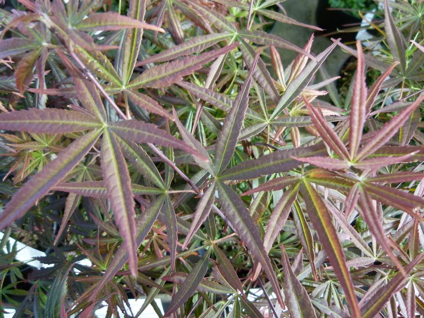 Acer palmatum atrolineare erable palmatilob rable du for Site de vente de plantes