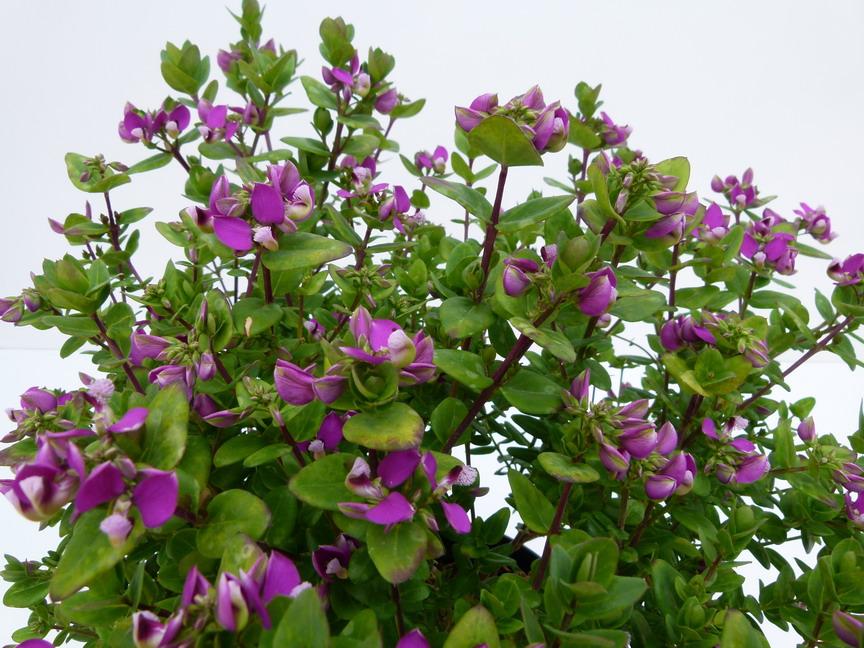 Polygala myrtifolia bibi pink polygala myrtifolia bibi pink polygale feuilles de myrte - Polygala myrtifolia feuilles jaunes ...