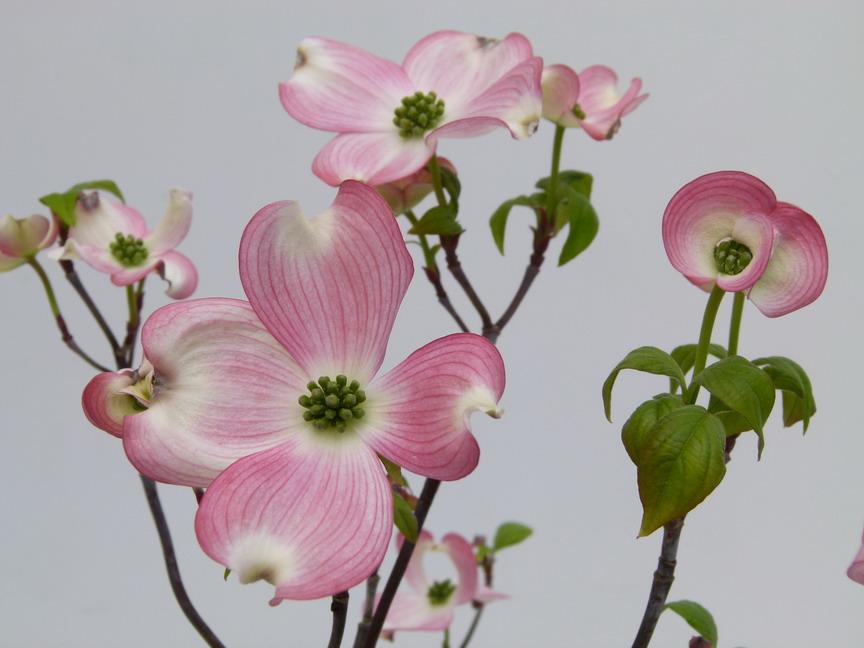 Arbres de petit d veloppement floraison rose p pini re for Arbre a petit developpement