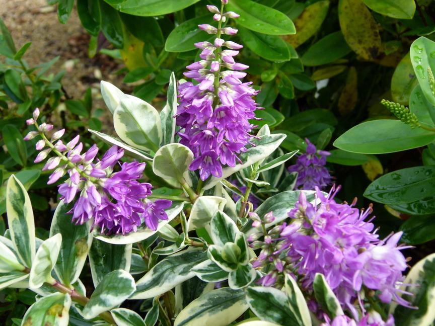 Hebe andersonii variegata v ronique andersonii variegata for Plante en ligne