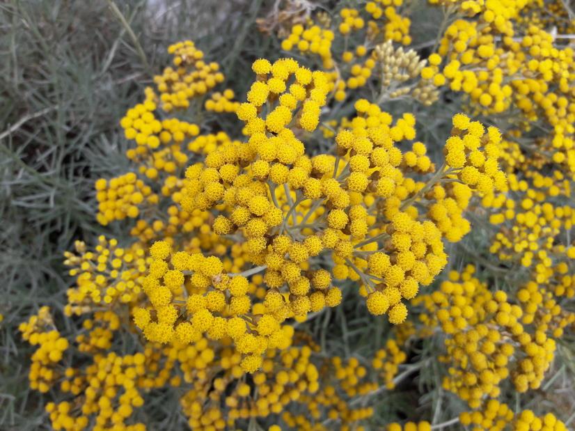 Helichrysum italicum serotinum h lichryse immortelle d for Plante curry