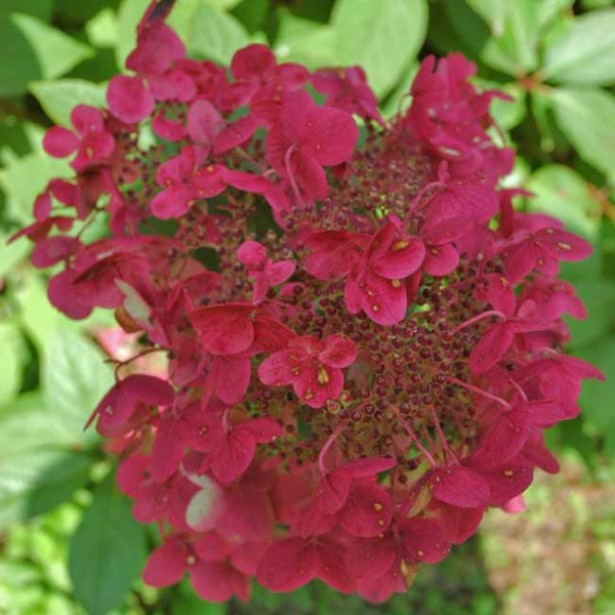 hydrangea paniculata wim 39 s red hortensia panicul wim. Black Bedroom Furniture Sets. Home Design Ideas