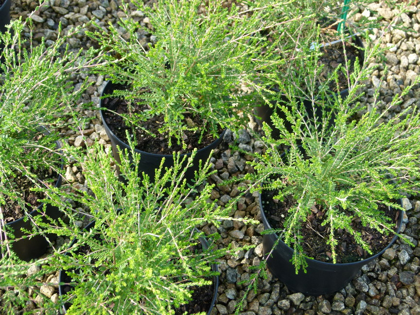 Triptomene saxicola triptomene saxicola p pini re en for Site de vente de plantes en ligne