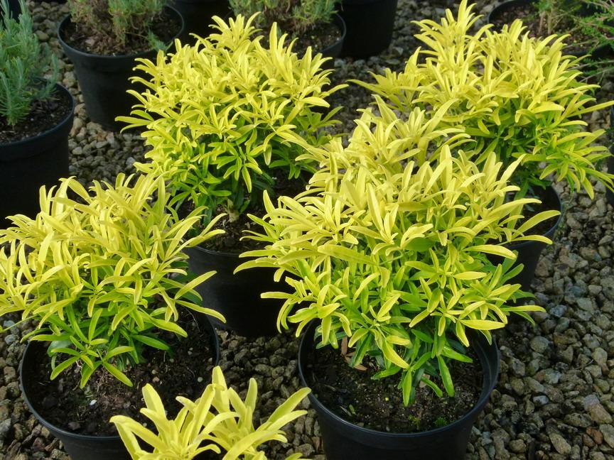 arbustes d 39 ornement floraison blanche p pini re en ligne de kerzarc 39 h page 3. Black Bedroom Furniture Sets. Home Design Ideas