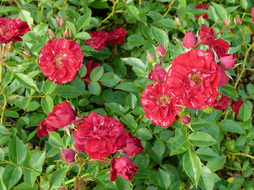 ROSA Fairy Donkerrood