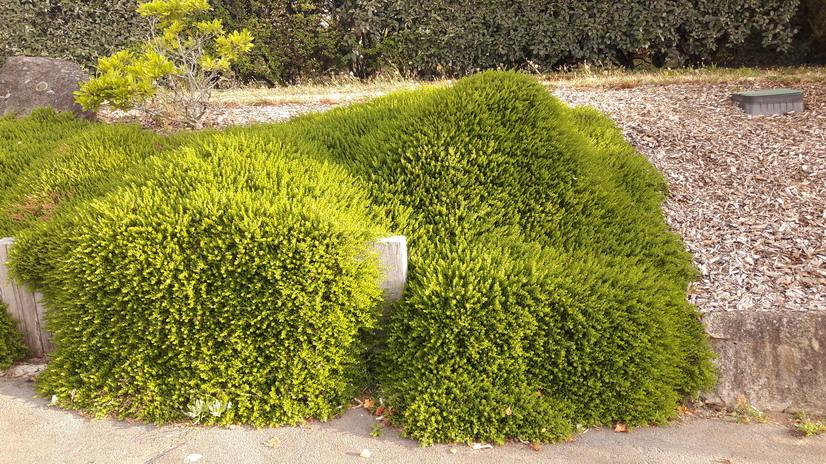 arbustes d 39 ornement arbustes rampants et couvre sol p pini re en ligne de kerzarc 39 h. Black Bedroom Furniture Sets. Home Design Ideas