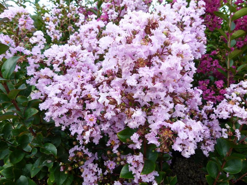 Lagerstroemia indica cama eu d 39 et lilas des indes - Lilas des indes racines ...