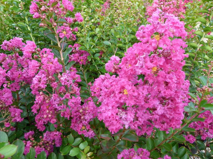 Lagerstroemia indica violet d 39 et lilas des indes - Lilas des indes racines ...