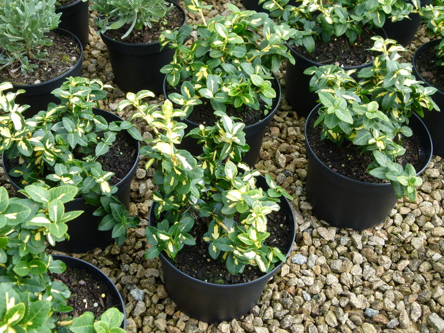 EUONYMUS fortunei Blondy ®
