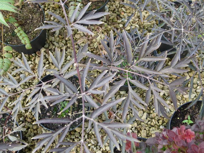 Sambucus nigra black lace sureau noir black lace for Site de vente de plantes en ligne