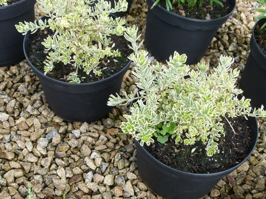 Westringia fruticosa morning light romarin d 39 australie for Commande de plantes en ligne
