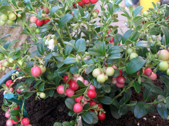 VACCINIUM macrocarpon Miss Cherry ®