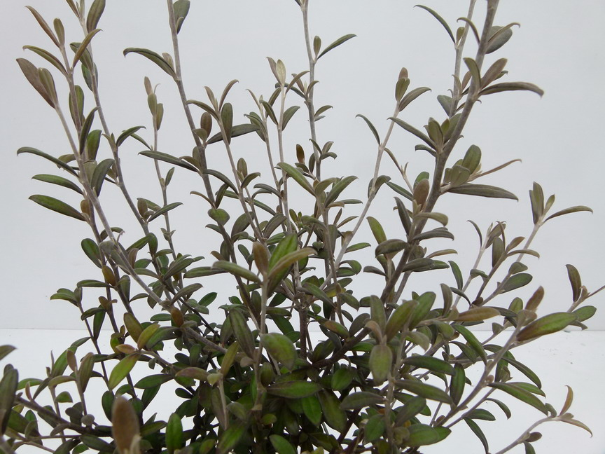 COROKIA x.virgata Frosted Chocolate