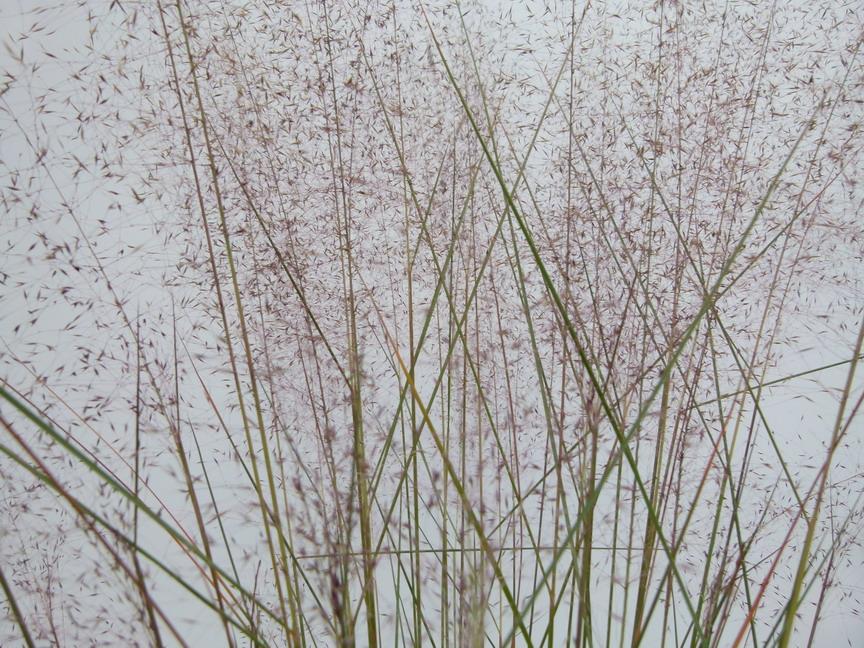 Muhlenbergia capillaris muhlenbergia capillaris for Commande plante en ligne