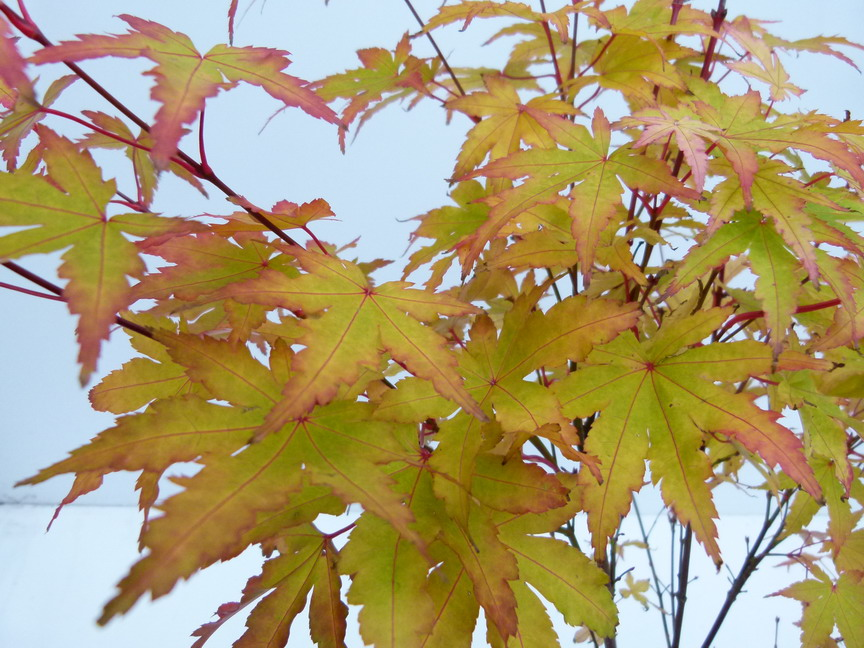 ACER palmatum Red Wood