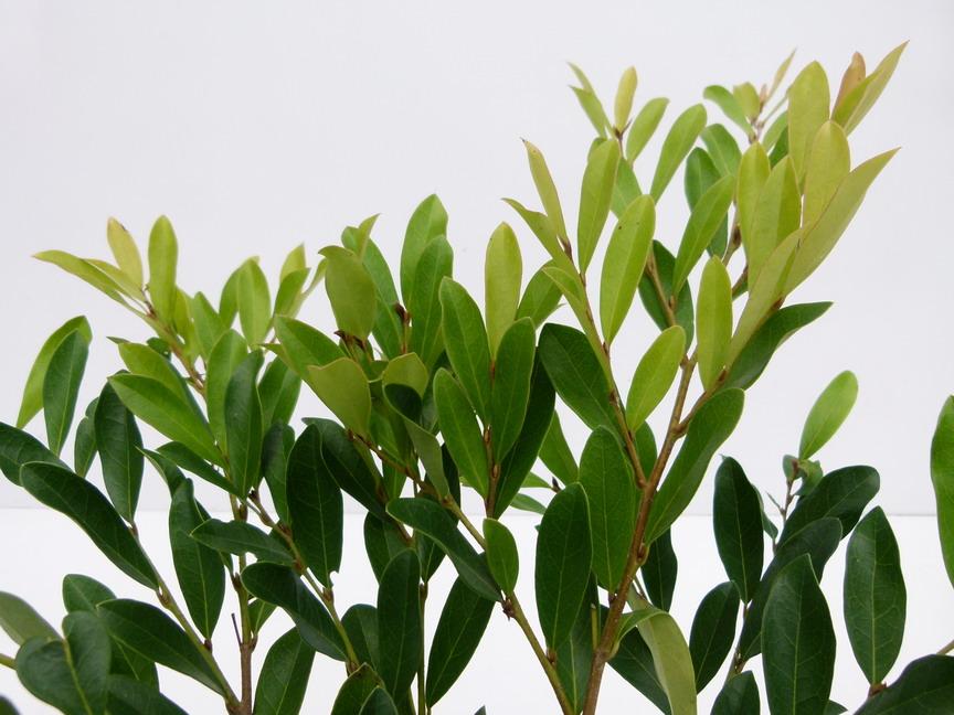 Distylium racemosum blue cascade distylium blue cascade for Commande plante en ligne
