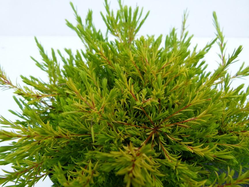 Diosma hirsuta sunset gold diosm hirsute parfum des for Site de vente de plantes en ligne