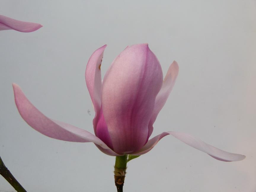 magnolia serene magnolia serene p pini re en ligne de kerzarc 39 h. Black Bedroom Furniture Sets. Home Design Ideas