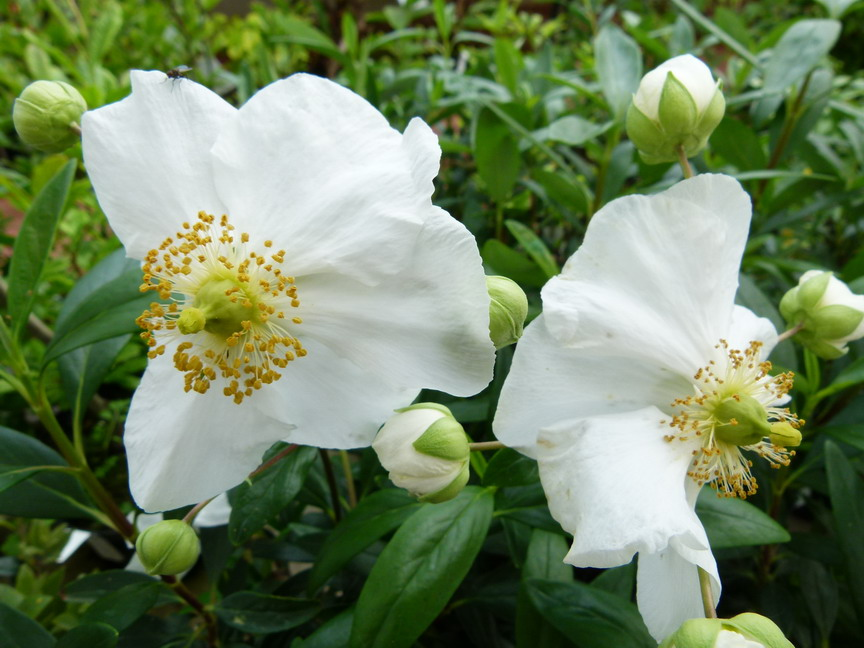 CARPENTERIA californica Bodnant